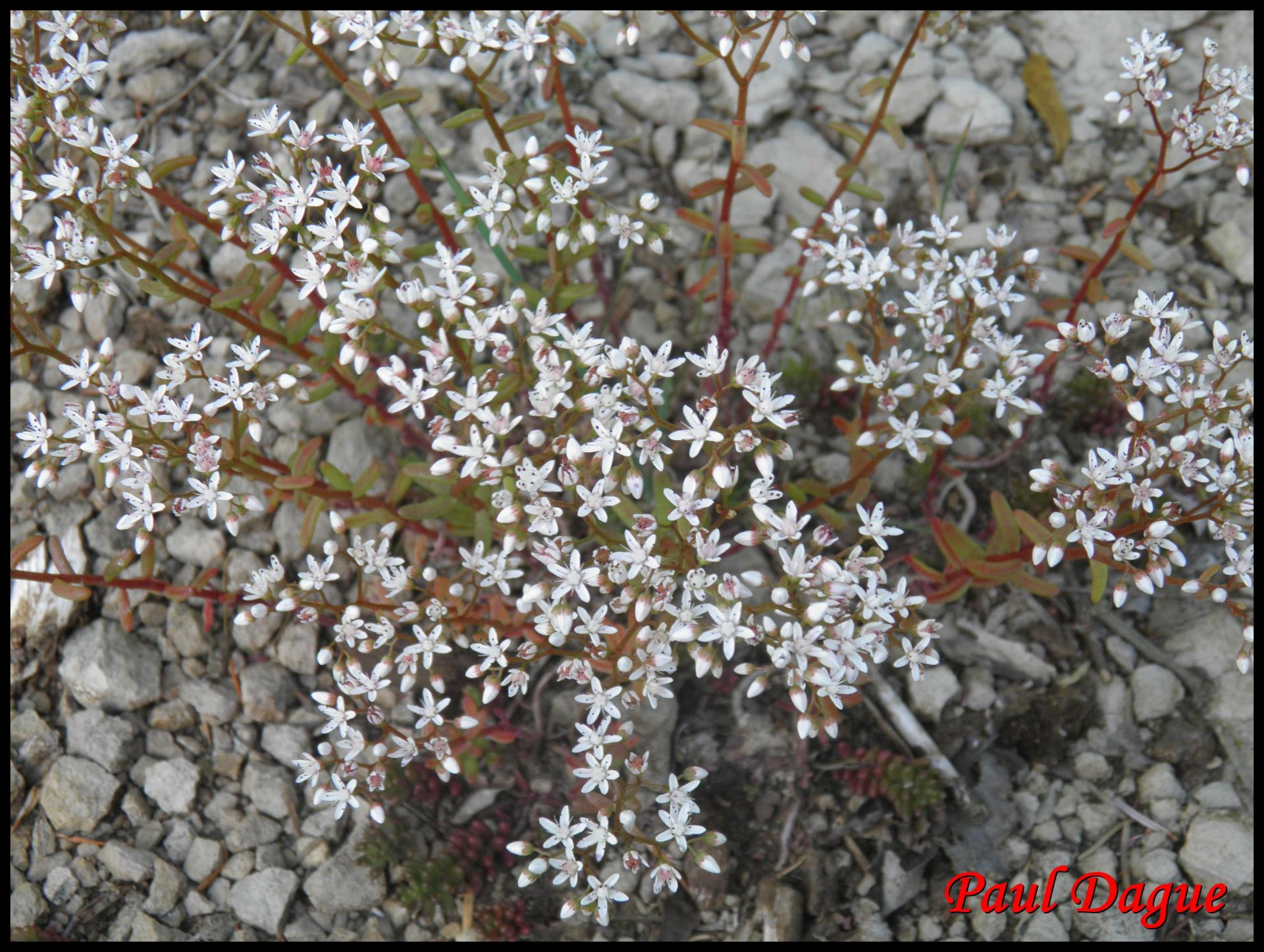 66 orpin blanc sedum album crassulacee