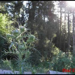 67 cirse laineux chardon des anes cirsium eriophorium asteracee