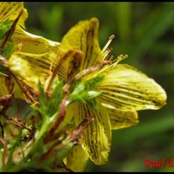 74 millepertuis macule hypericum maculatum hypericacee