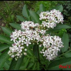 80 sureau hieble sambucus ebulus caprifoliacee