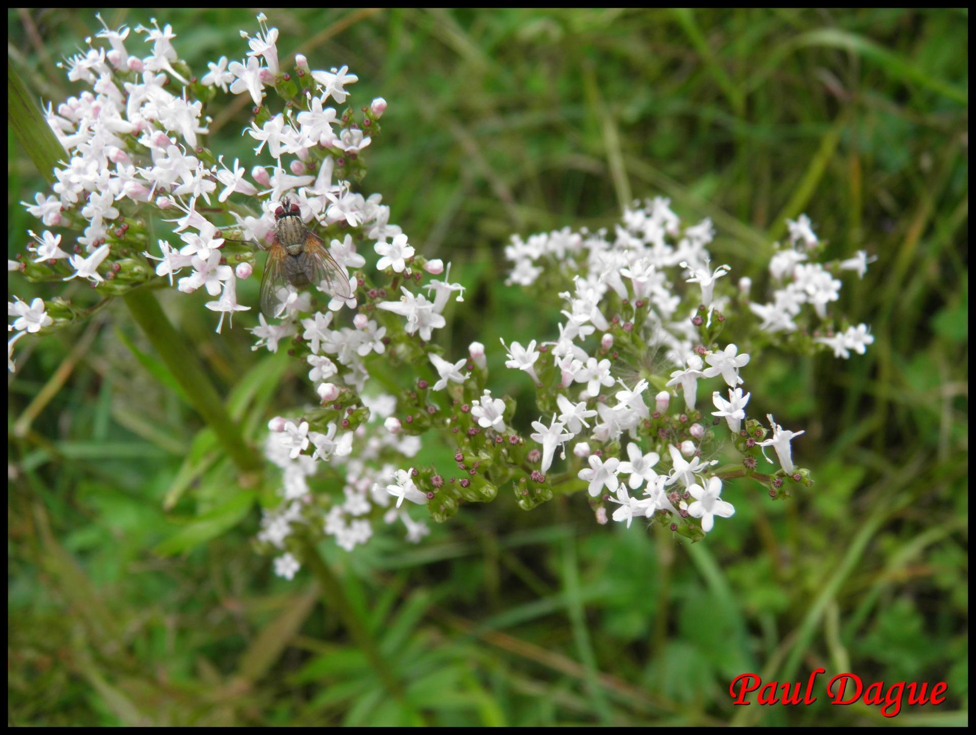 84 valeriane officinale valeriana officinalis valerianaceae