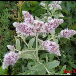 85 menthe a longue feuilles mentha longifolia lamiacee