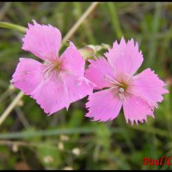 88 oeillet des rochers pipolet dianthus sylvestris cariophyllacee