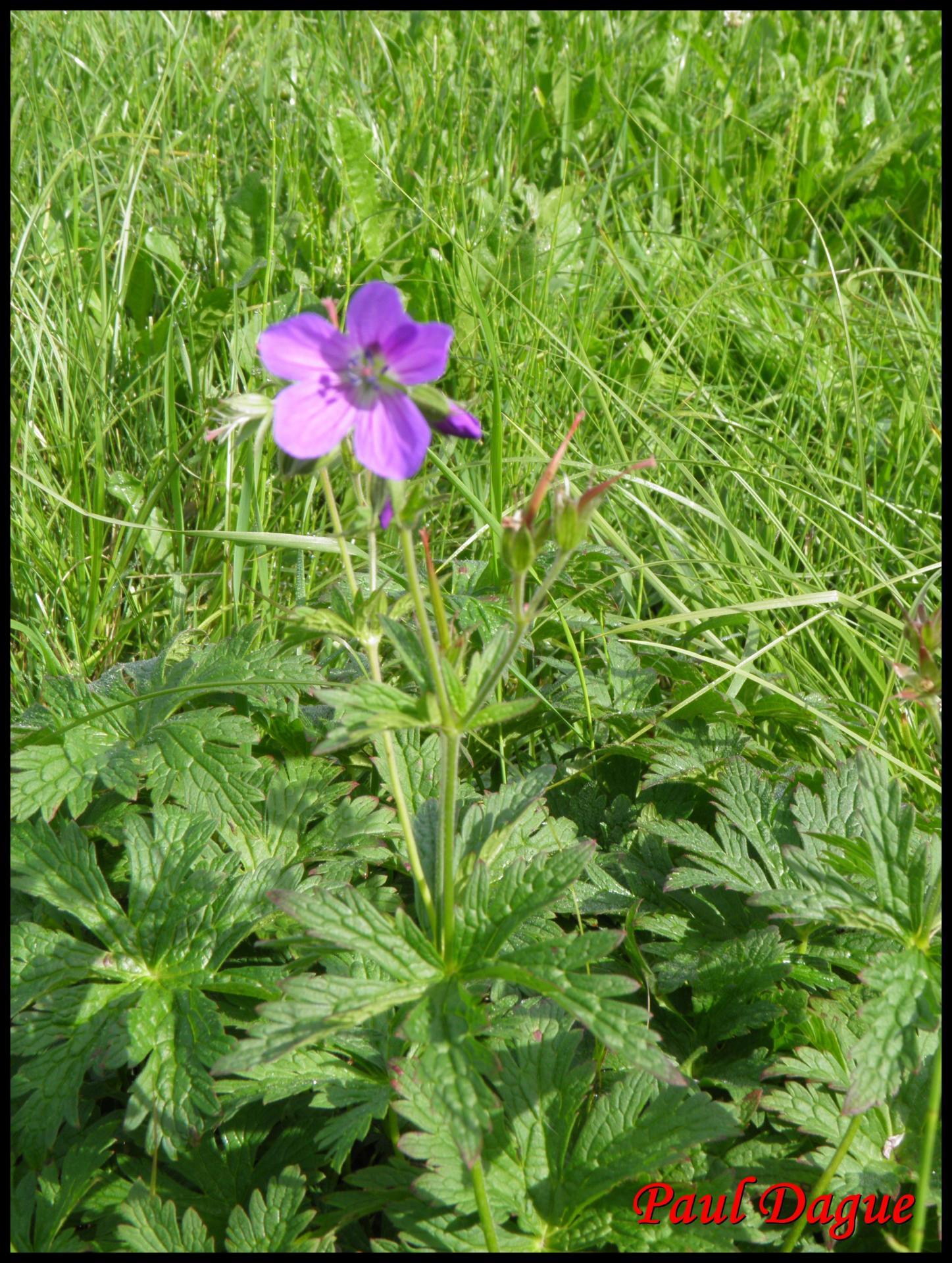 89 geranium des bois geranium sylvaticum geraniacee