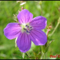 89 geranium des bois geranium sylvaticum geraniacée