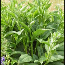 92 consoude officinale symphytum officinale boraginacee