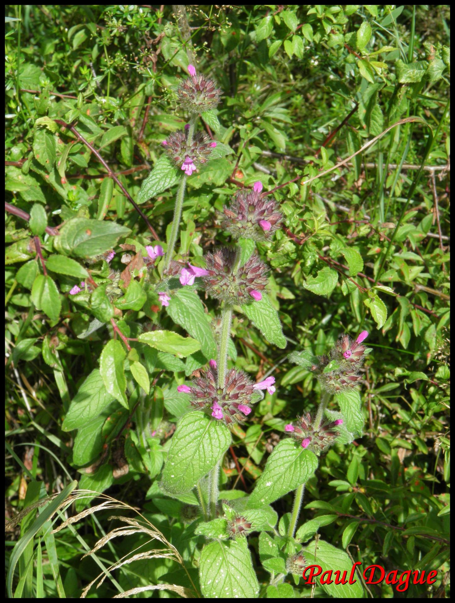 96 sariette clinopode clinopodium vulgare lamiacee