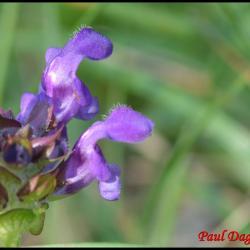 97 brunelle commune prunella vulgaris lamiacee
