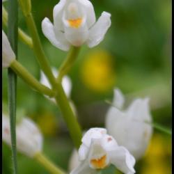 cephalanthere a feuilles etroites cephanlanthera longifolia