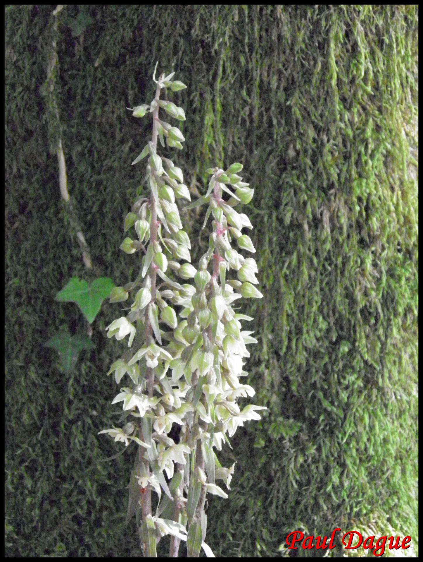 Epipactis a feuilles ecartees epipactis distans