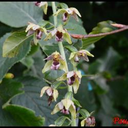 Epipactis a larges feuilles epipactis helleborine