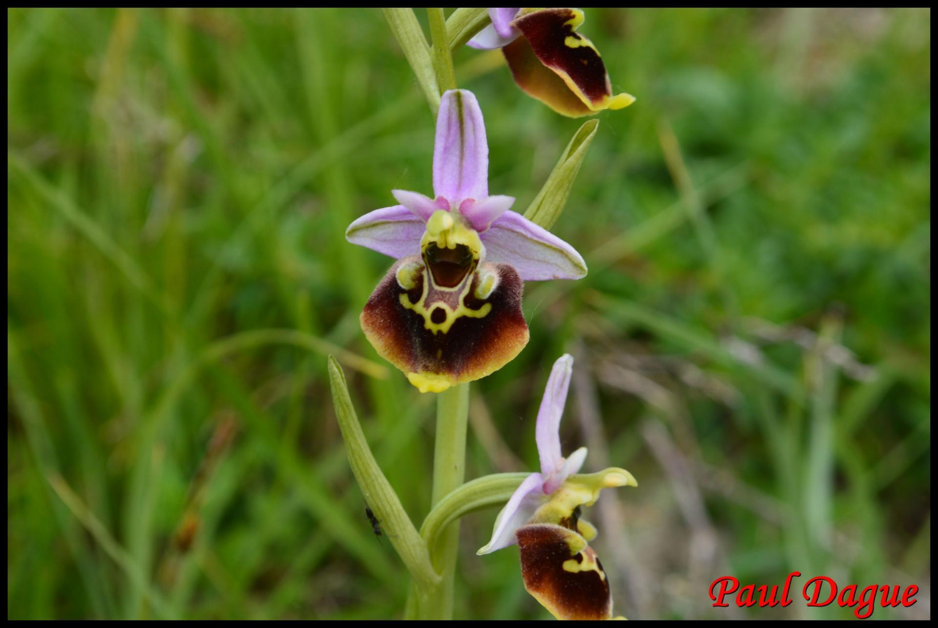 Ophris bourdon ophris fuciflora