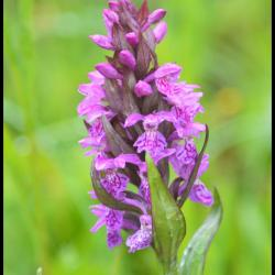 Orchis a feuilles larges dactylorhiza majalis