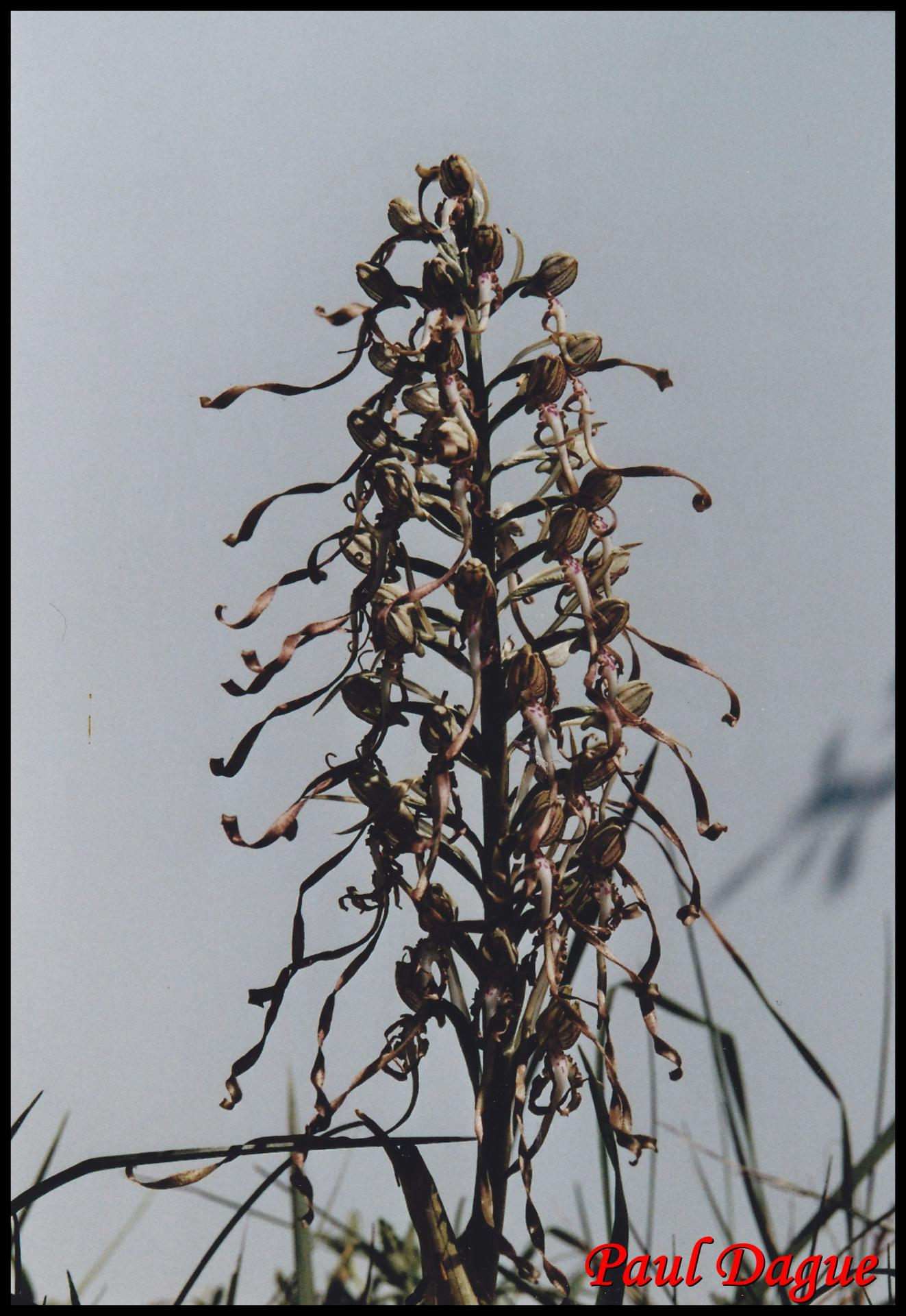 orchis à odeur de bouc himantoglossum hircinum