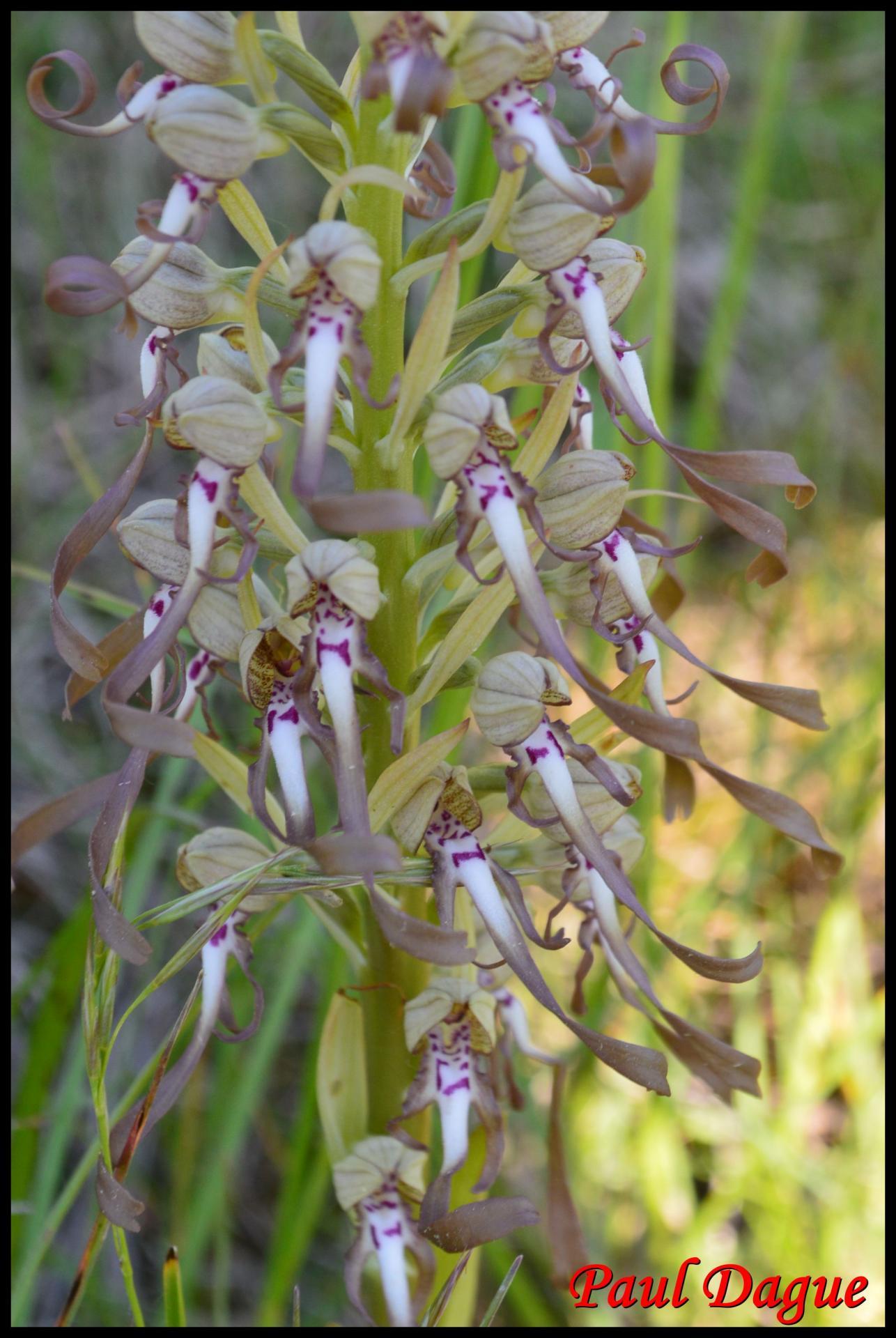 Orchis a odeur de bouc himantoglossum hircinum