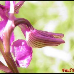 Orchis bouffon anacamptis morio