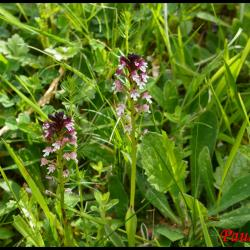 Orchis brule neotinea ustulata