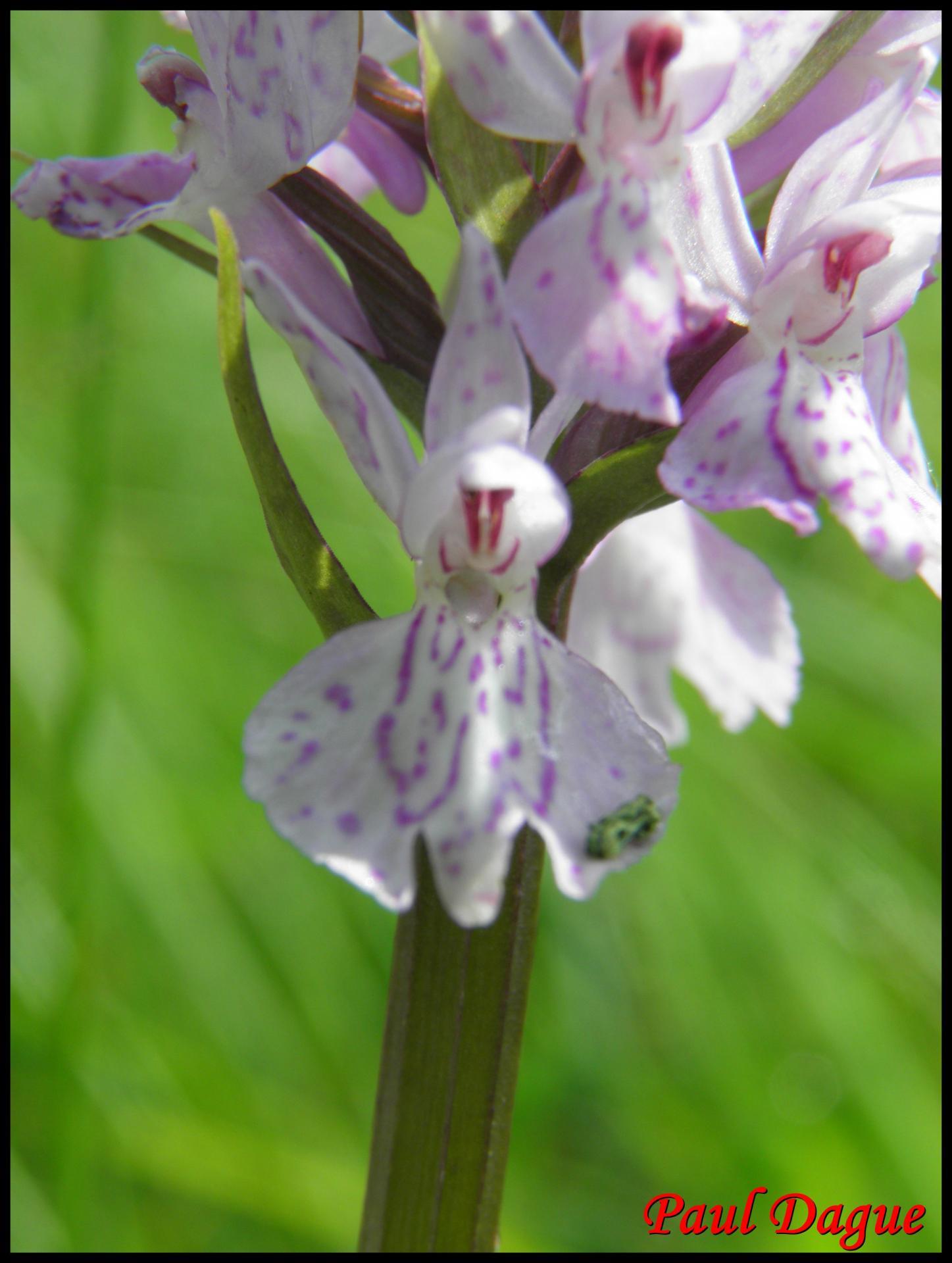 Orchis de fuchs dactylorhiza fuchsii
