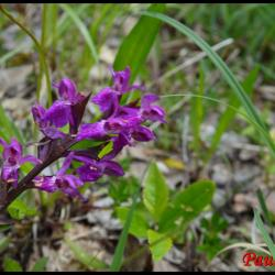 Orchis de traunsteiner dactylorhiza trausteineri