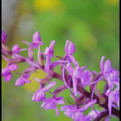 Orchis moucheron gymnademe a long eperon gymnadenia conopsea