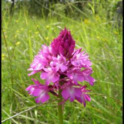 Orchis pyramidal anacamptis pyramidalis